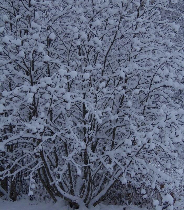 luminen pihapihlaja_12