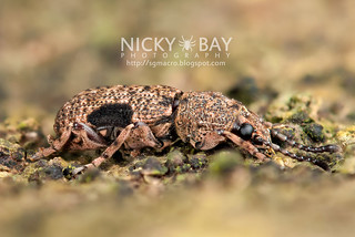 Fungus weevil (Xylinada sp.) - DSC_0236