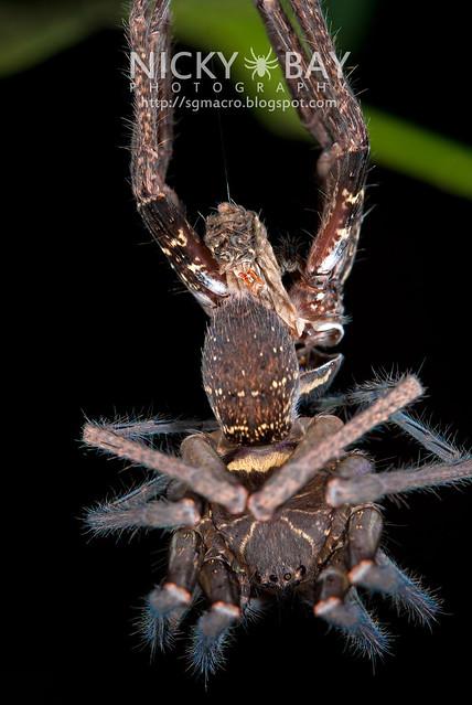 Huntsman Spider moulting (Sparassidae) - ESC_0076