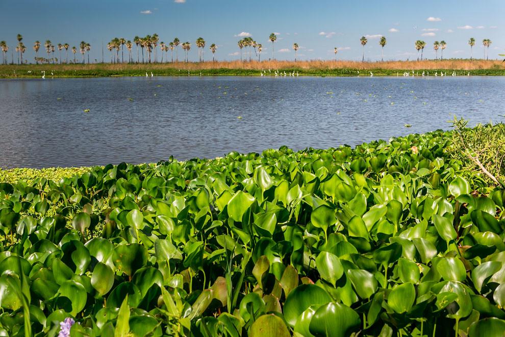Una vista desde la orilla permite apreciar los camalotes y muchas garzas alimentándose en la otra orilla del Río Negro. (Tetsu Espósito)