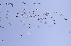 候鳥宛如台灣的老友,每年依約南下渡冬,牠們的造訪是賞鳥界期待的盛 事。 攝影:蔡桉浩