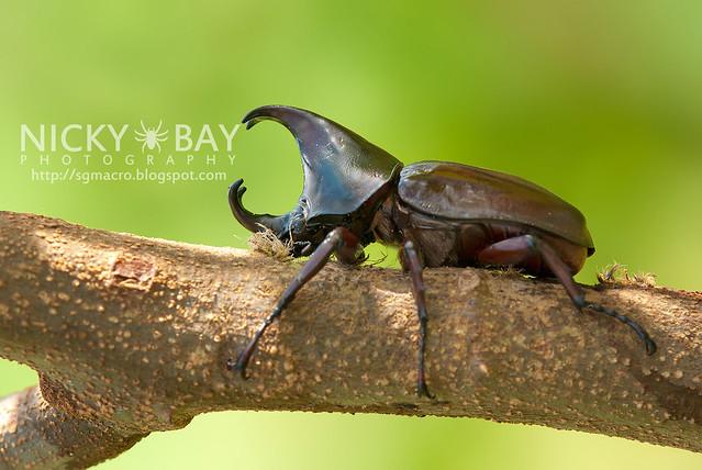 Rhinoceros Beetle (Dynastinae) - DSC_7777