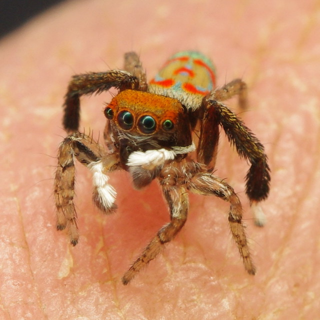 Peacock jumping spiders - photo#41