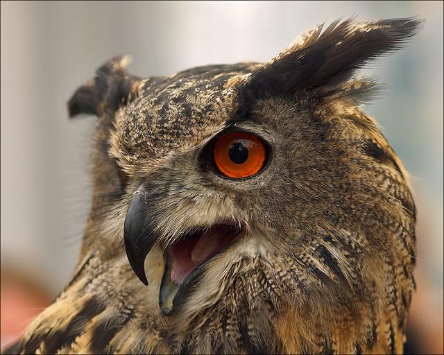 Svenja, the Eurasian Eagle Owl
