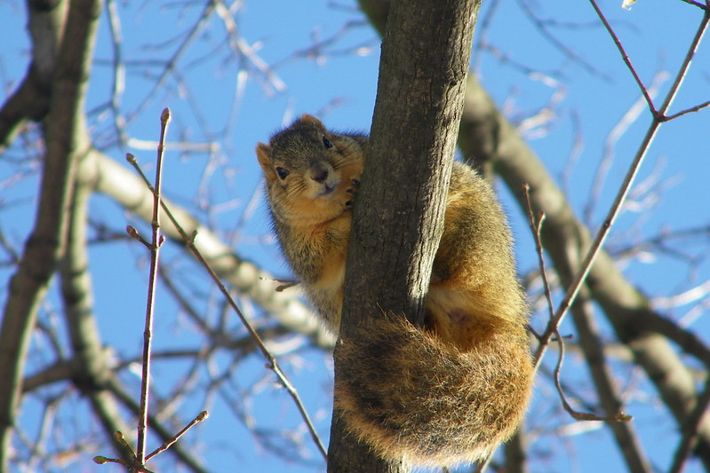 210/365/1671 (January 7, 2013) - Squirrel at the University of Michigan in Winter (January 7, 2013)