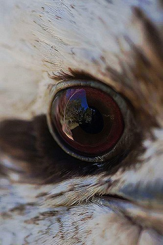 "bird eye nikon dof feathers australia depthoffield micro queensland botanic f4 kookaburra botanicgardens monopod tamborine goldcoast 200mm macrro d700 ""flickraward"""
