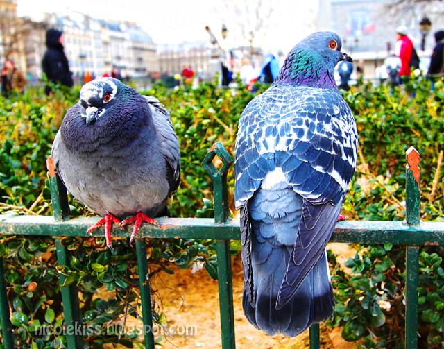 HDR pigeons 3