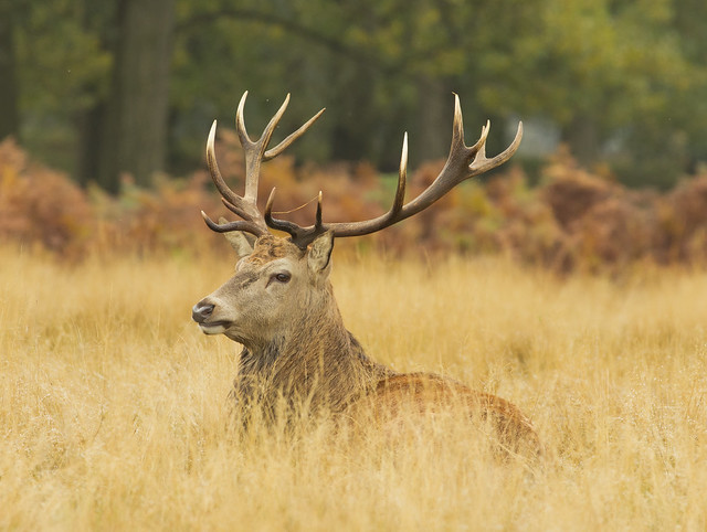 red deer stag sitting