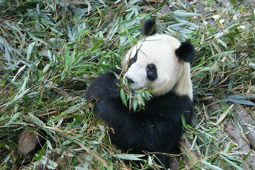 Giant Panda lie under bamboos