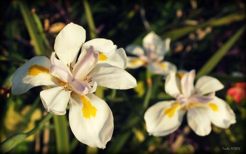Australian native iris