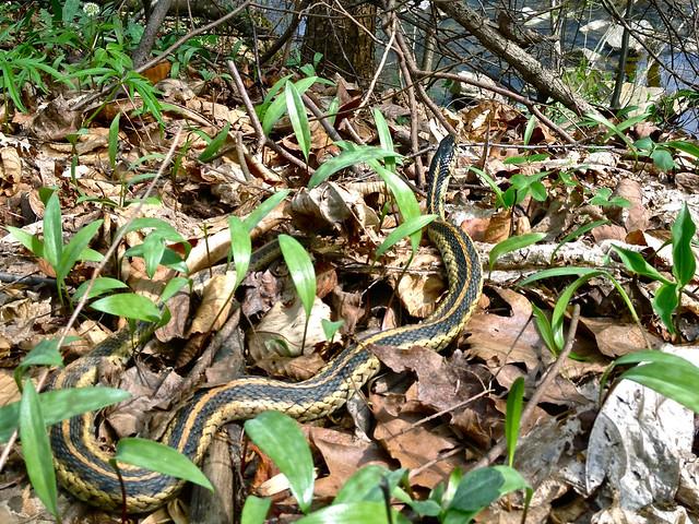 Thamnophis Sirtalis Common Garter Snake Flickr Photo