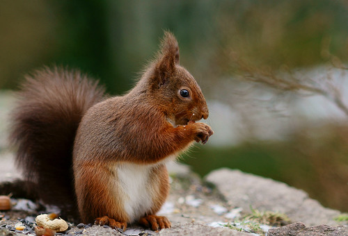 Meet the Forest How Red Squirrels