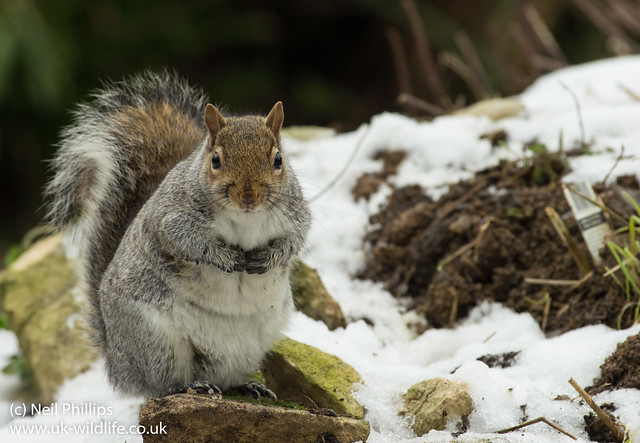 grey squirrel in snow 3