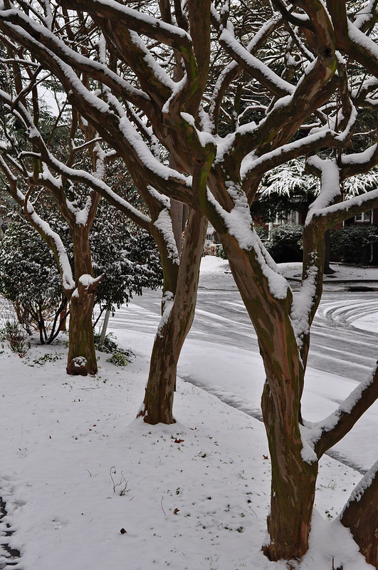 Lagerstroemia in Snow
