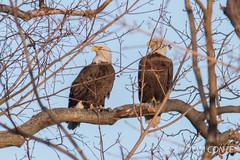 Eagles 27 Jan 2013
