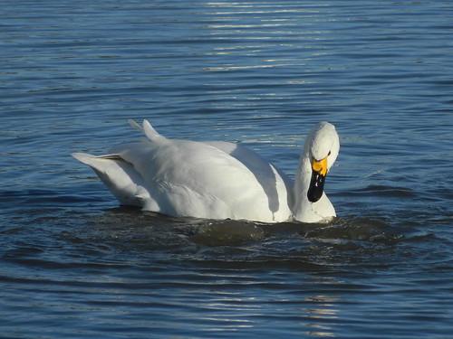 WWT Slimbridge: Bewick's Swan (Gloucestershire)