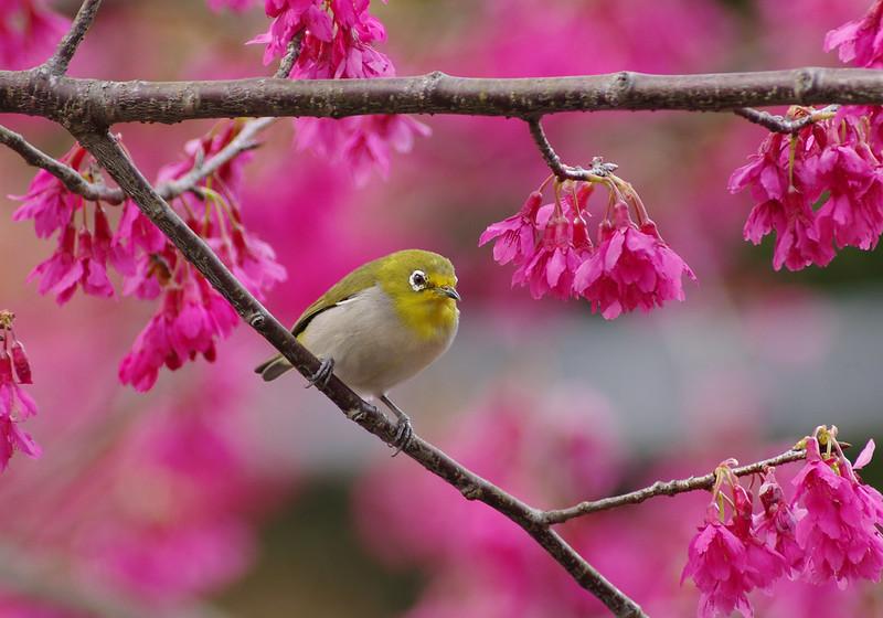 櫻花滿林群鳥慶