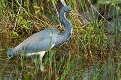 great egret(0.0), pelecaniformes(0.0), ibis(0.0), wetland(1.0), animal(1.0), fauna(1.0), little blue heron(1.0), heron(1.0), beak(1.0), bird(1.0), wildlife(1.0),