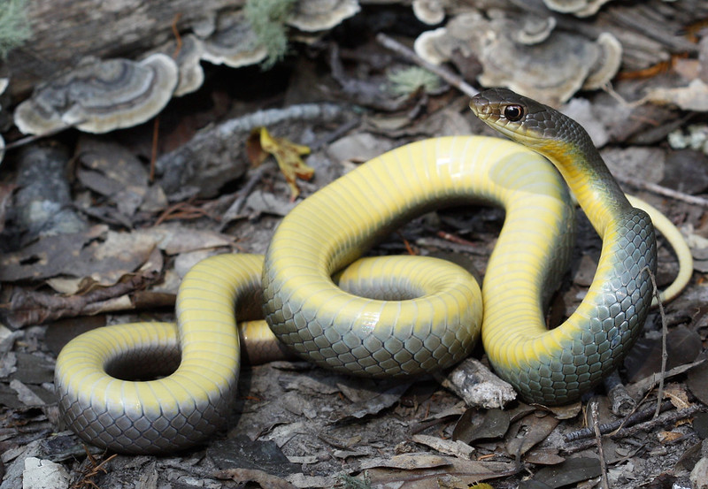 Coluber Constrictor Flaviventris Eastern Yellow Bellied Racer By Kyle LE On Flickr