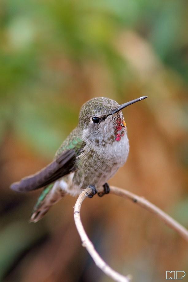 Anna's Hummingbird 101112-3