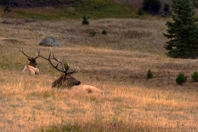 Two mature bull elks bed down for the evening in an alpine meadow as the sun goes down.