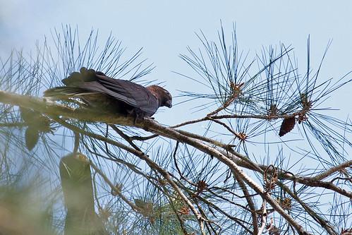 Black Parrot (Lesser Vasa Parrot)