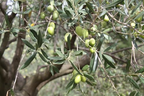 Pincholine Olives