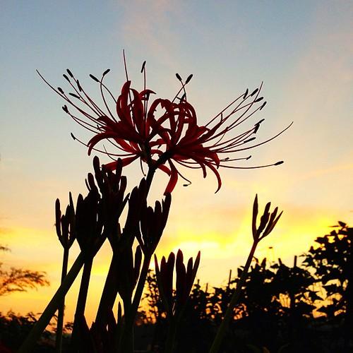 朝焼け曼珠沙華  おはようございます( •͈〰•͈ )  今日は夜までお仕事 イッテキマース☆ヾ(*´・∀・)ノ  みなさん 素敵な週末を♡  #kokohana #hana #flower #花 #floweroftheday #insta_pick_blossoms #ザ花部 #フォトサプリ #photooftheday #iphoneography #iphoneonly #instagramer #webstagram #instagramer #photooftheday #iphoneogra