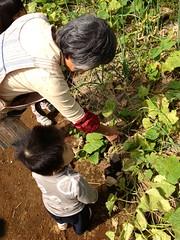 キュウリの収穫 (2012/10/14)