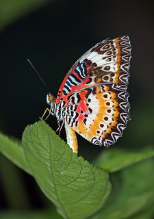 Lacewing butterfly 7_edited-1