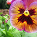 Pansy in the Fall by Tony Coffman