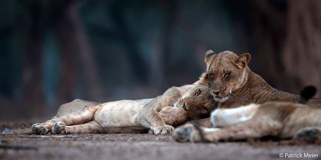 Two cuddly lions in Zimbabwe's Mana Pools National Park