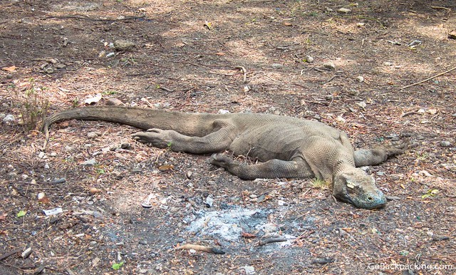 Disabled Komodo Dragon