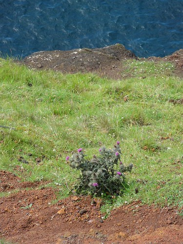 Thistle on the Grassy Slope by the Sea