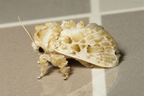 Cup Moth (Altha sp., Limacodidae)