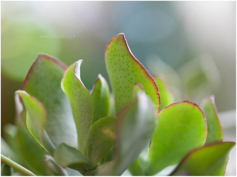 succulent-s11