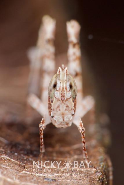 Grasshopper (Caelifera) - DSC_2698