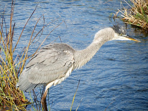 Great blue Heron - Grand Héron  20 Oct 2012    198 by Diane G....Thanks for over 50,000 Views....