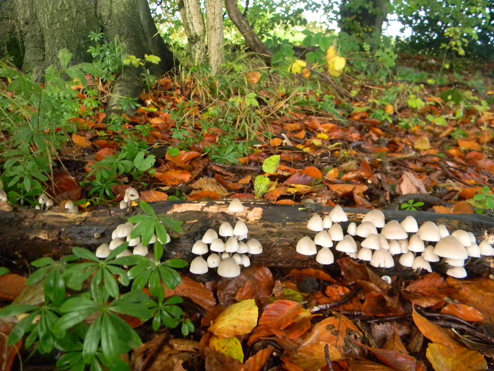 trooping fungi Wendover Circular