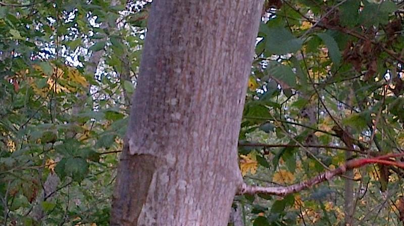 Big Leaf Maple Leaf Big Leaf Maple-bark 3