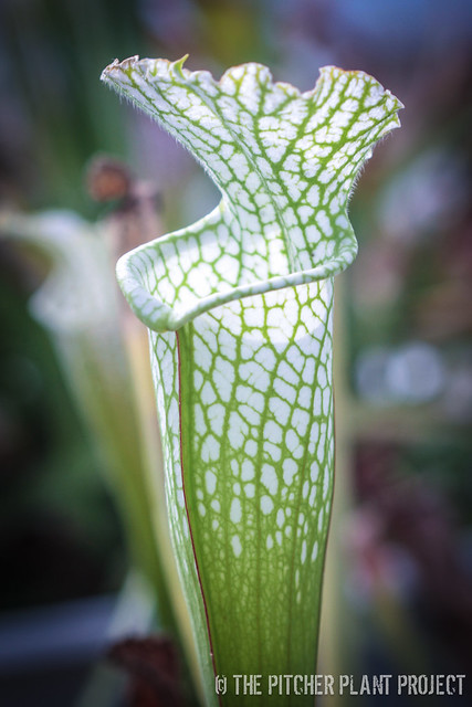 Sarracenia leucophylla 'Hurricane Creek White' Clone D