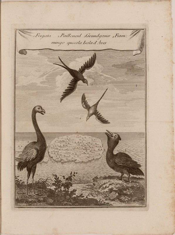 18th century ornithological engraved etching