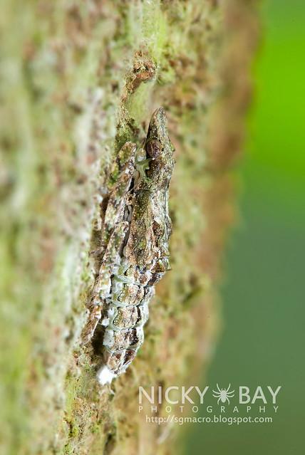 Fulgorid Planthopper? (Fulgoridae) - DSC_1800