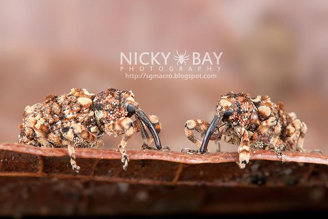 Weevils (Curculionidae) - DSC_1463