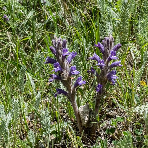 europe armenia wildplants orobanchaceae peterphoto gegharkunik orobanchepurpurea
