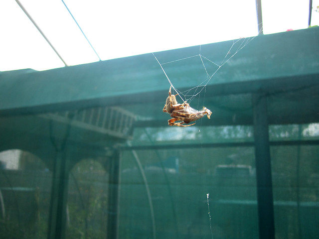 102212 - Natural History Museum Spider Pavilion. Orb weaver eating lunch.