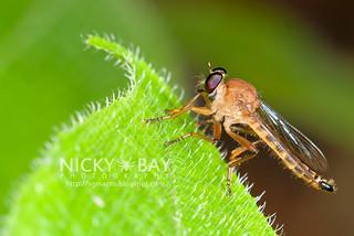 Robberfly (Asilidae) - DSC_1363