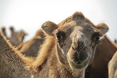 Camel Features