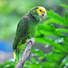 Small photo of Yellow-headed Amazon (Amazona oratrix)