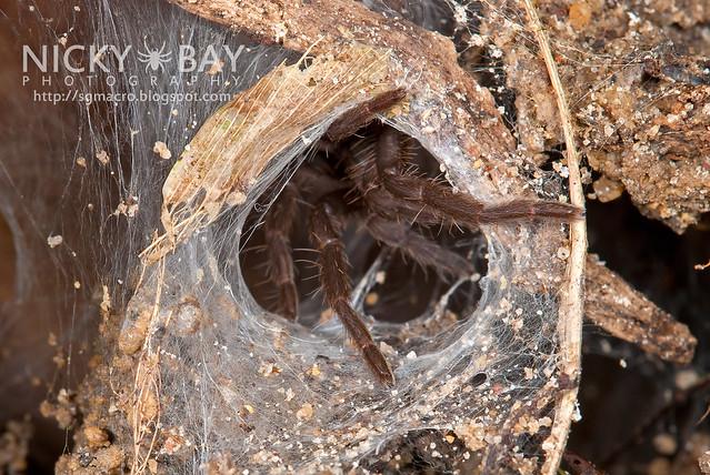 Tarantula (Phlogiellus sp.) - DSC_9395